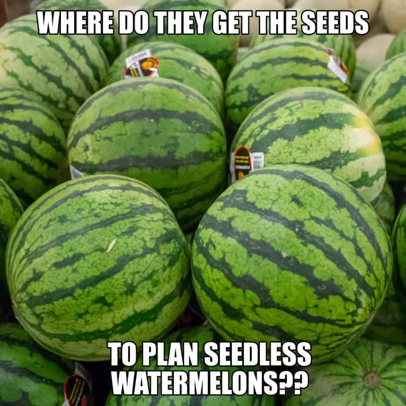 Where do they get the seeds to plan seedless watermelons