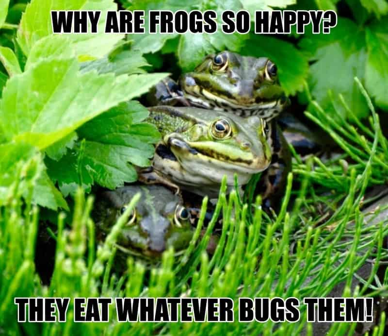 Why are frogs so happy They eat whatever bugs them