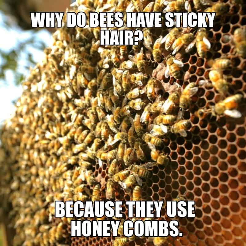 Why do bees have sticky hair Because they use honey combs