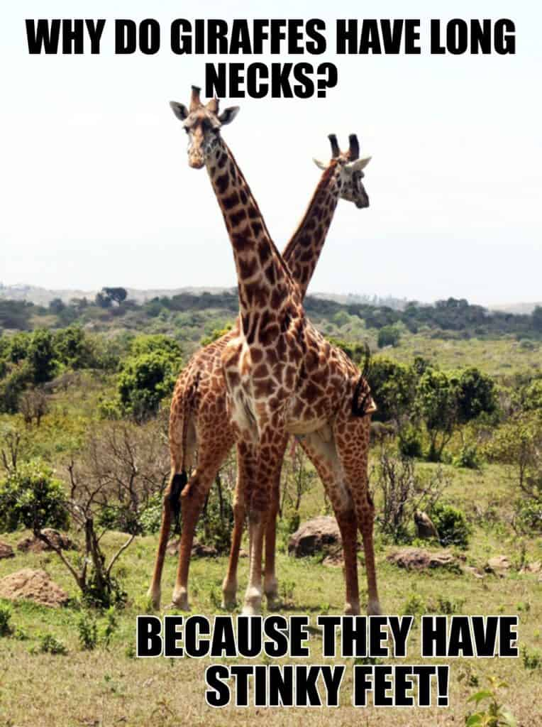 Why do giraffes have long necks Because they have stinky feet