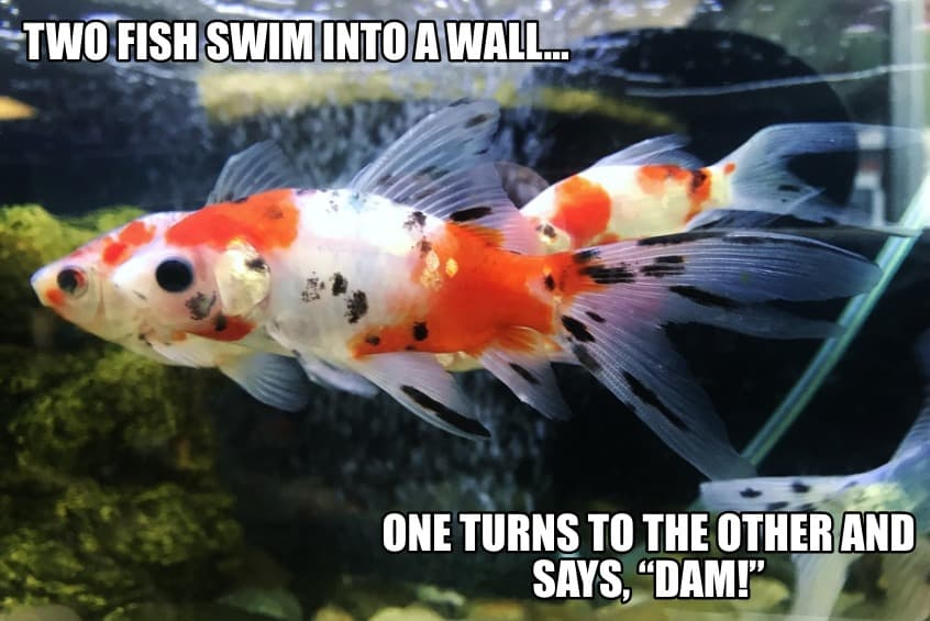 Two fish swim into a wall One turns to the other and says Dam